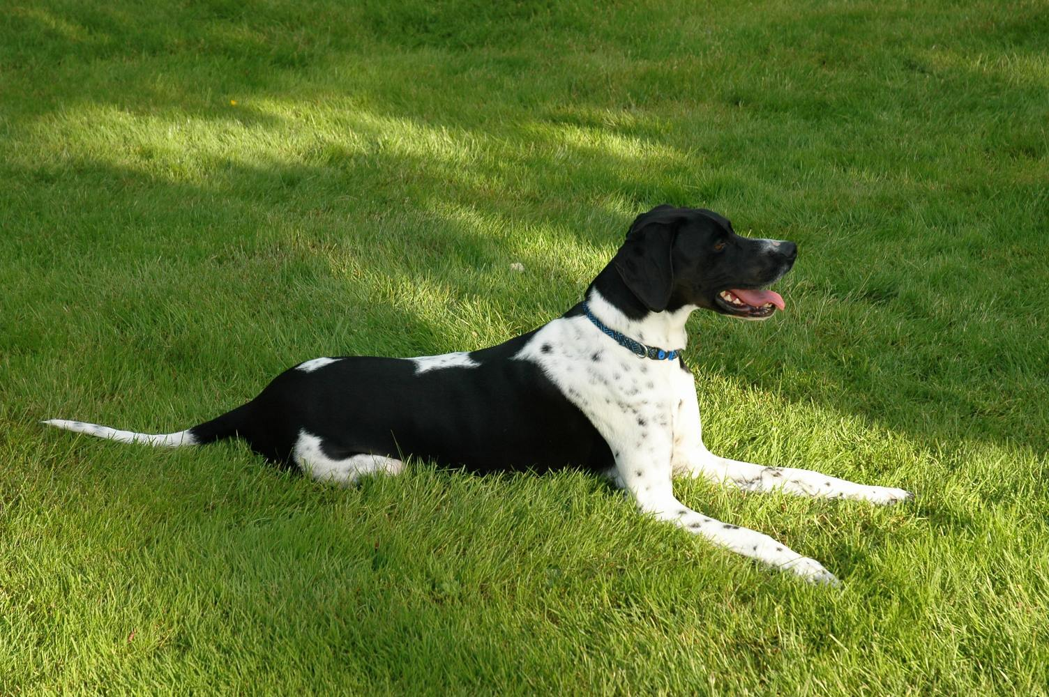 Black and white pointer dog