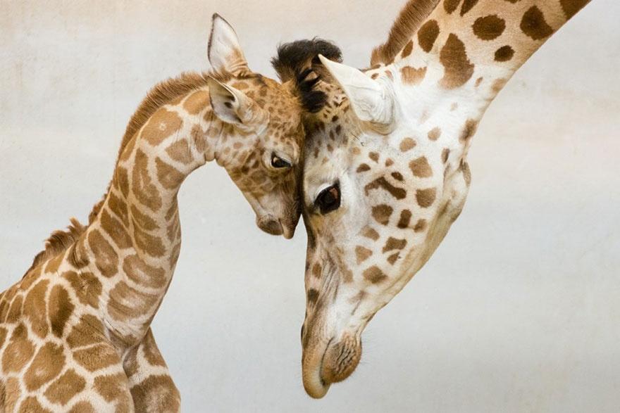 animal-parents рис 4