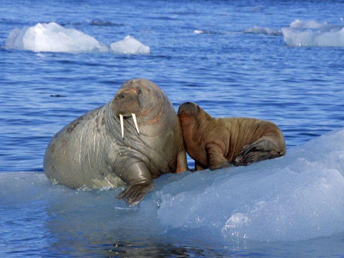 Моржи живут в Арктике