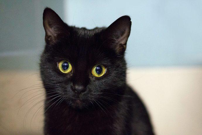 черные коты рис 15
