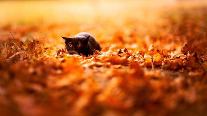 черные коты рис 11
