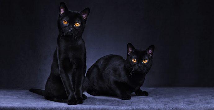 черные коты рис 14
