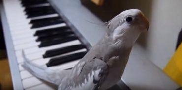 Попугай поет