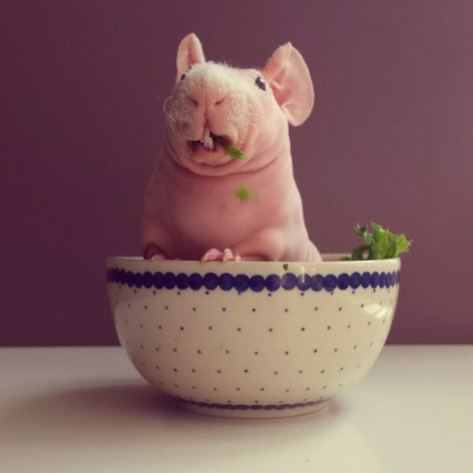 naked-guinea-pig-food