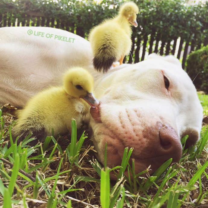 pups and ducks
