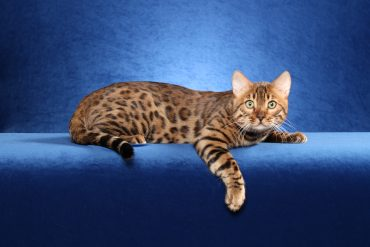 Animals___Cats_Beautiful_Bengal_cat_on_a_blue_background_045463_