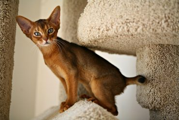 abyssinian_cat_6