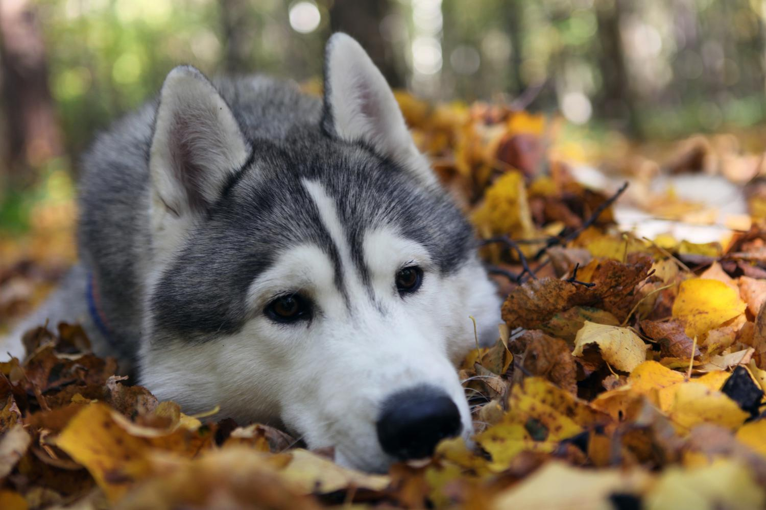 animals_dogs_husky_fallen_leaves_4080x2720_wallpaper_Wallpaper_4080x2720_www_wall321_com_