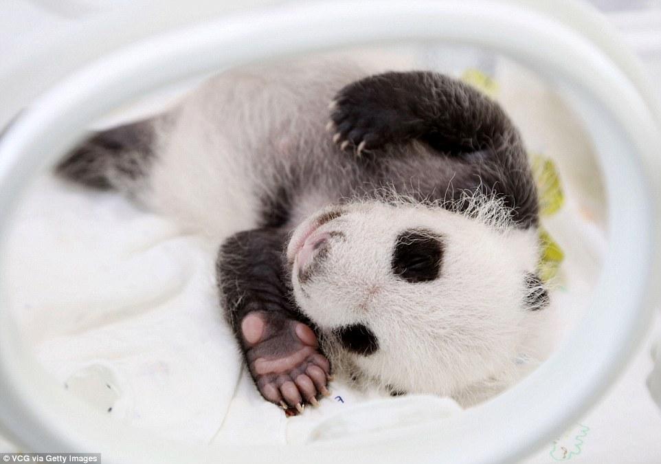 panda-go-go1