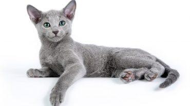 Магическая русская голубая кошка. Характеристика породы