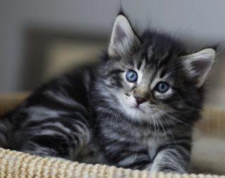 Кошка викингов у тебя дома. Характеристика норвежских кошек
