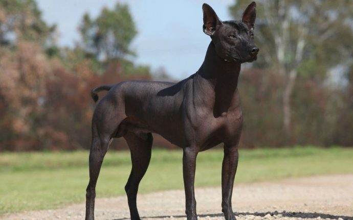 Mexican-Hairless-Dog-