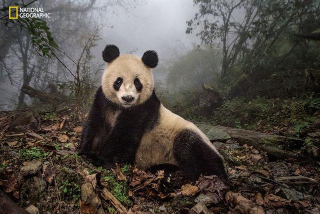 foto-panda