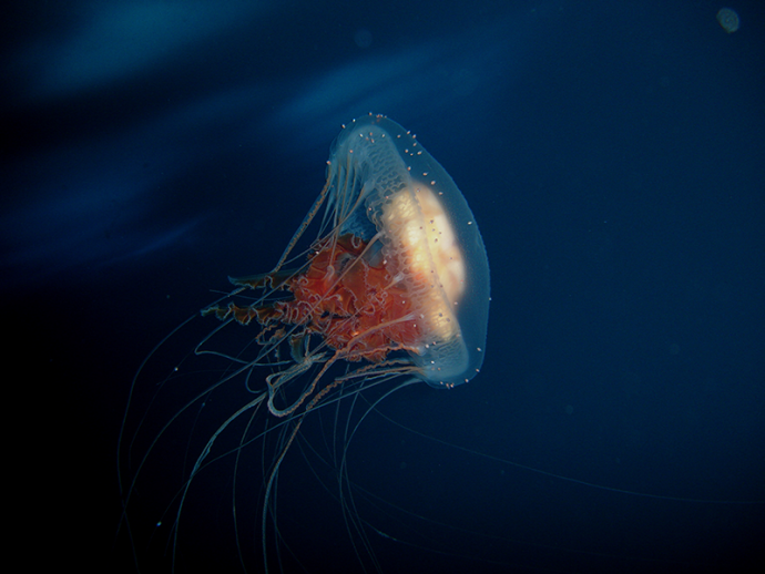 jellyfish рис 10