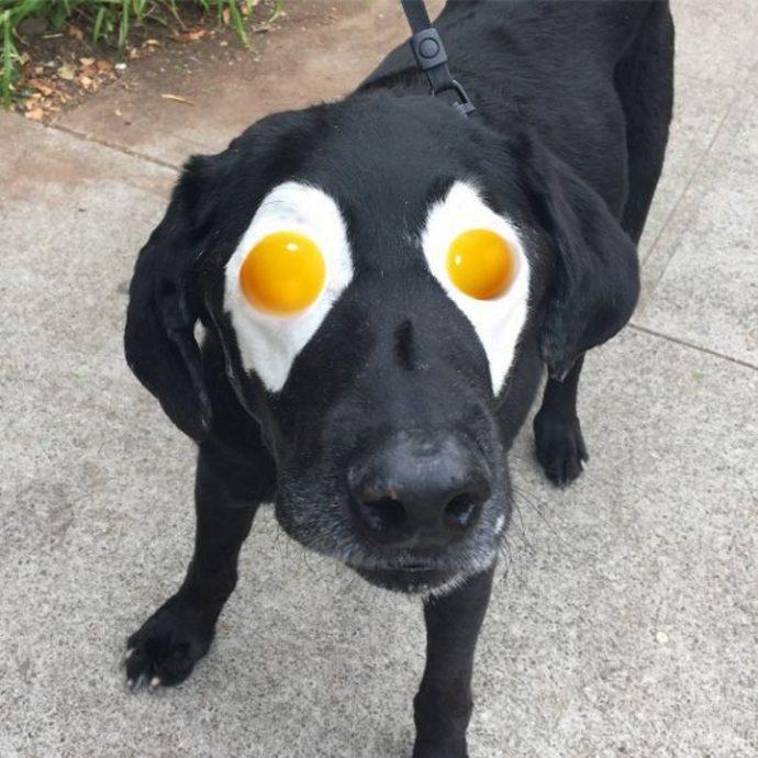 labrador egg