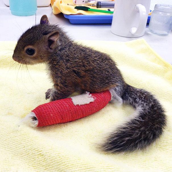 squirrel-broken-leg-cast