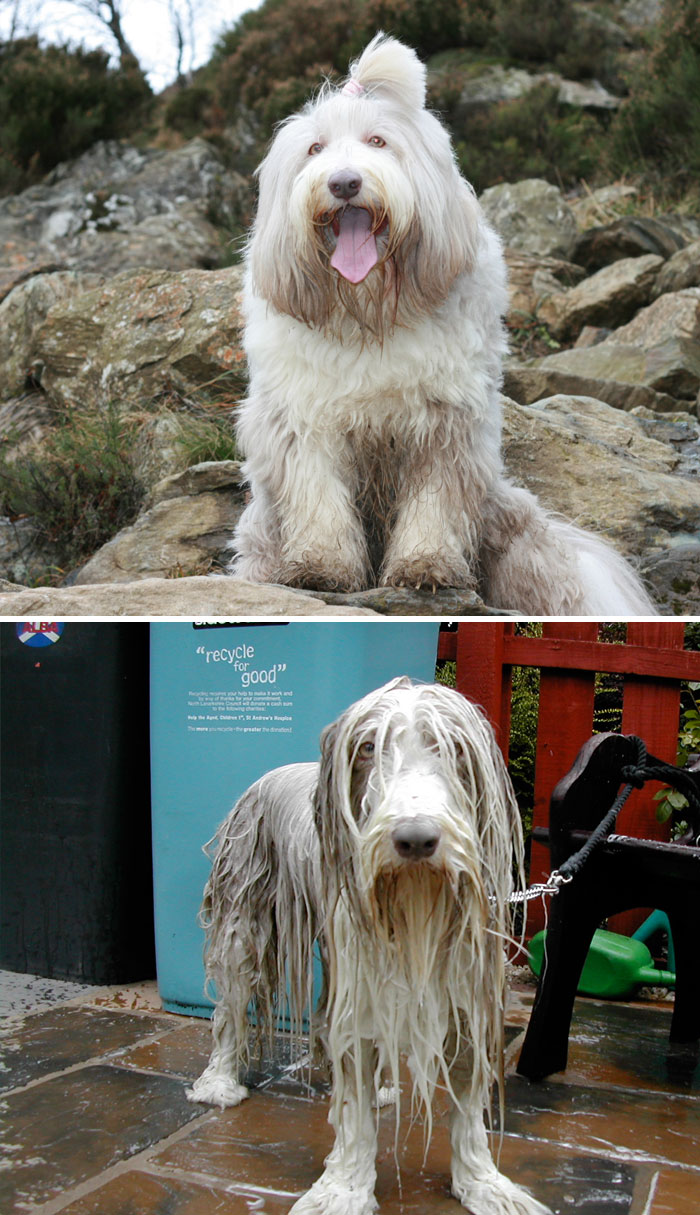 wet-dogs-before-after-bath-12-57a4398261d86__700