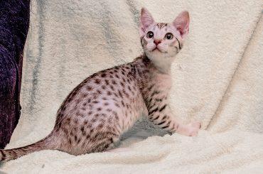Оцикет (Ocicat)