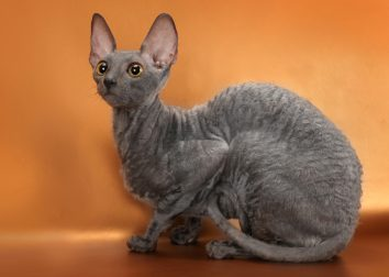 Корниш-рекс (Cornish Rex)