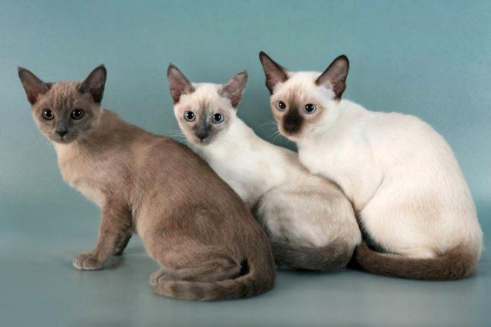 Тонкинская кошка порода