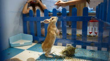 honkong-rabbit