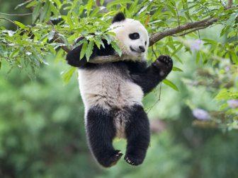 Упала, испугала, но доела! Приключения забавной панды)