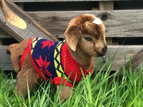 cute-animals-wearing-tiny-sweaters-38-57ff8e3c29a51__605