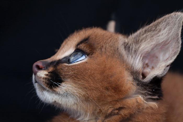 cute-baby-caracals-17-57fb61a83ed30__700