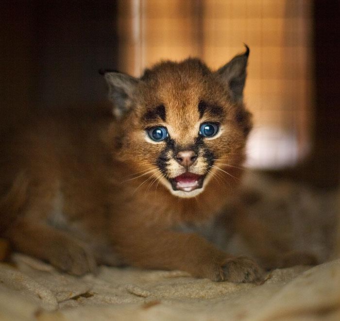 cute-baby-caracals-27-57fb7aa1845ef__700