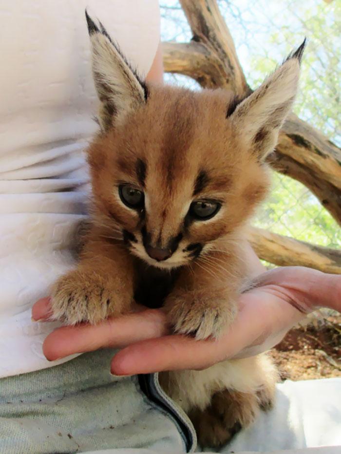 cute-baby-caracals-35-57fb8cf3580d4__700