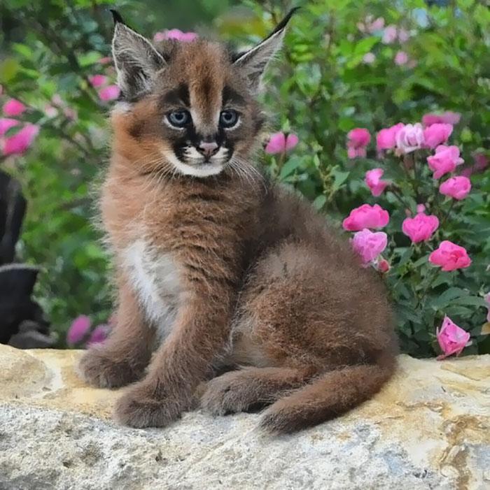 cute-baby-caracals-36-57fb8e42d3862__700