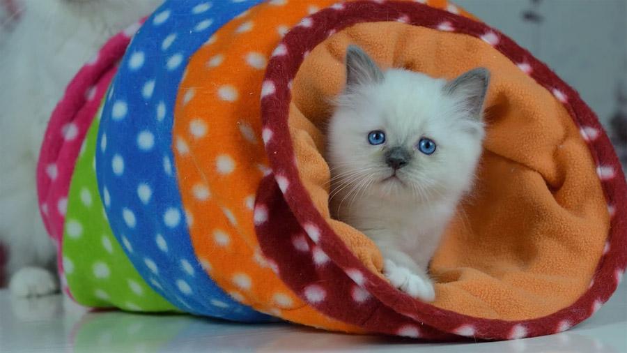 Бирманская кошка 5