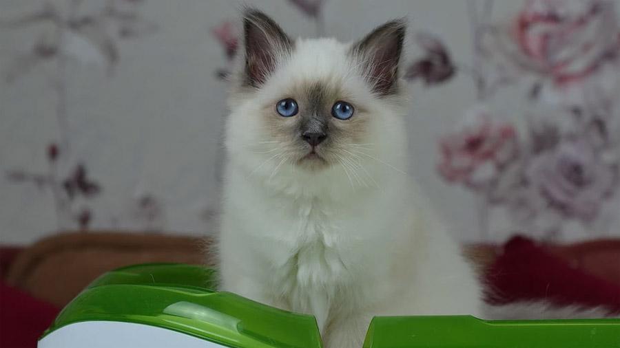 1470996553_burmese-cat-2