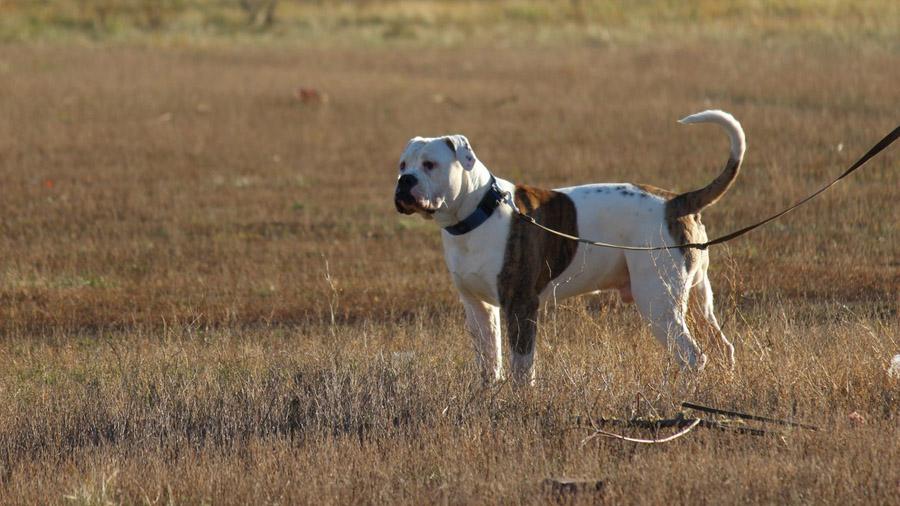 1476114751_american-bulldog-5