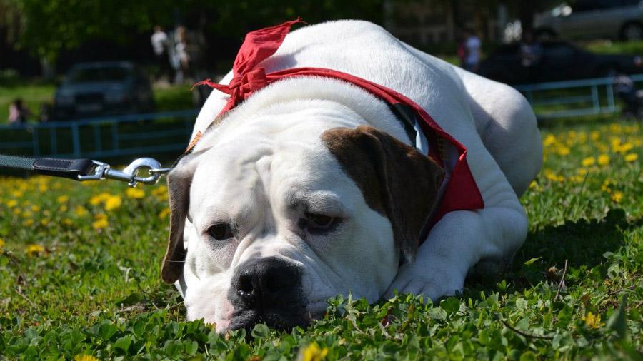 1476114756_american-bulldog-1