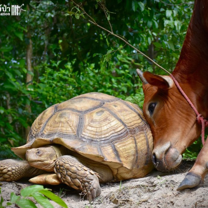 calf and tortoise