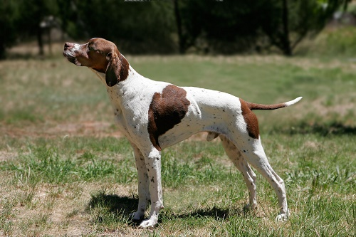 english_pointer_01