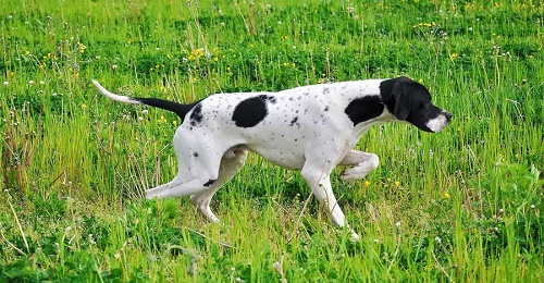 english_pointer_03