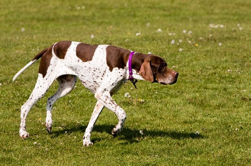 english_pointer_04