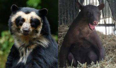 Спустя целых 20 лет издевательств медведица Холита, наконец, стала свободной...