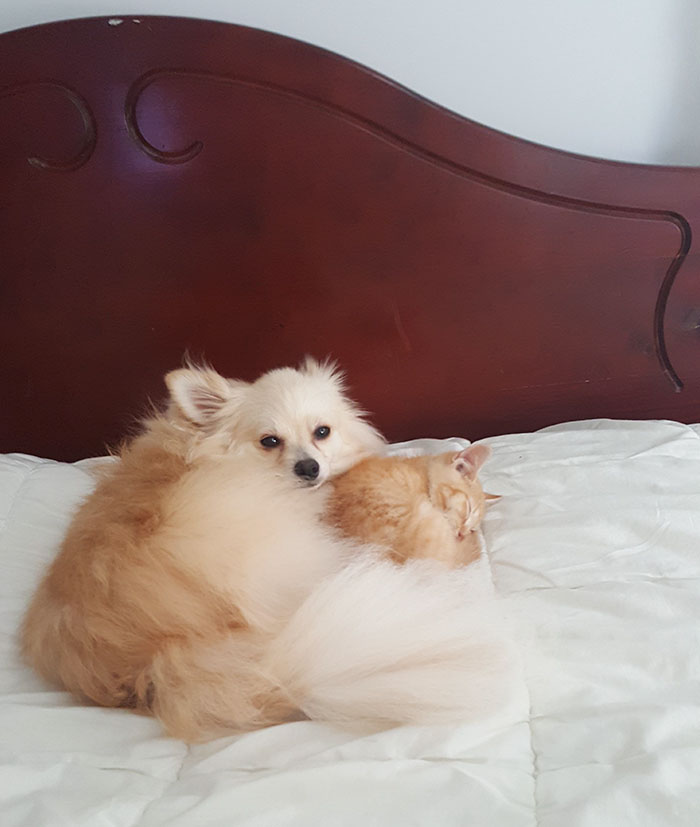 pomeranian-dog-adopts-ginger-kitten-12