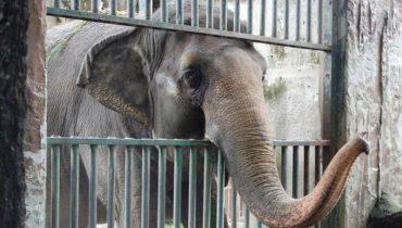 История самого печального в мире слона... Она живёт в одиночку вот уже 35 лет!