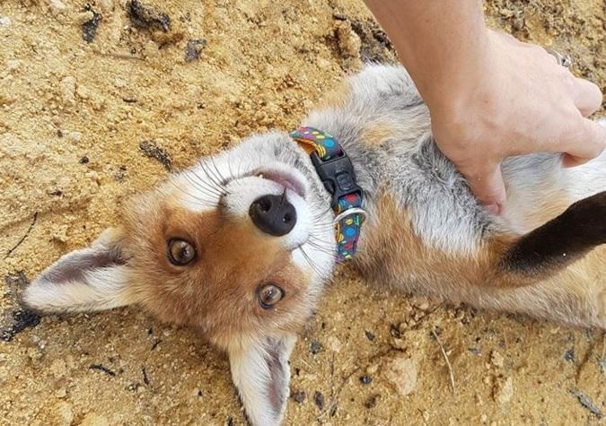 fox and dog