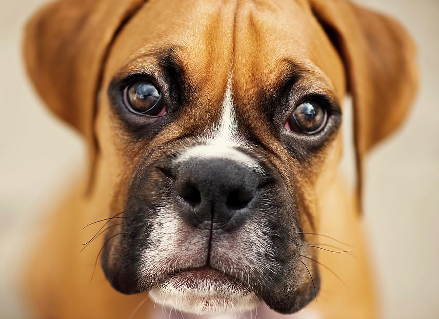 boxer-puppies-pictures-73