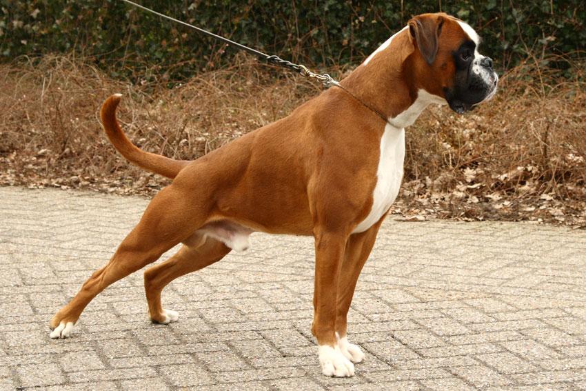 boxer_prince_vd_kuuper_stand