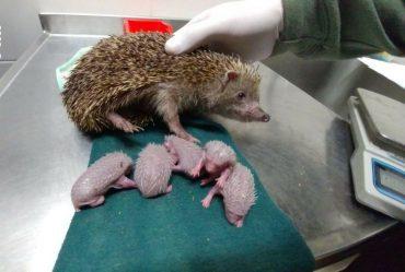 Она спасала своих детей! Это потрясающее взвешивание новорожденных ёжиков должны видеть все! :)