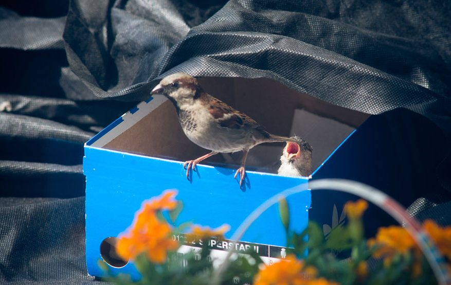 found-blind-baby-sparrow-below-my-balcony-880-12