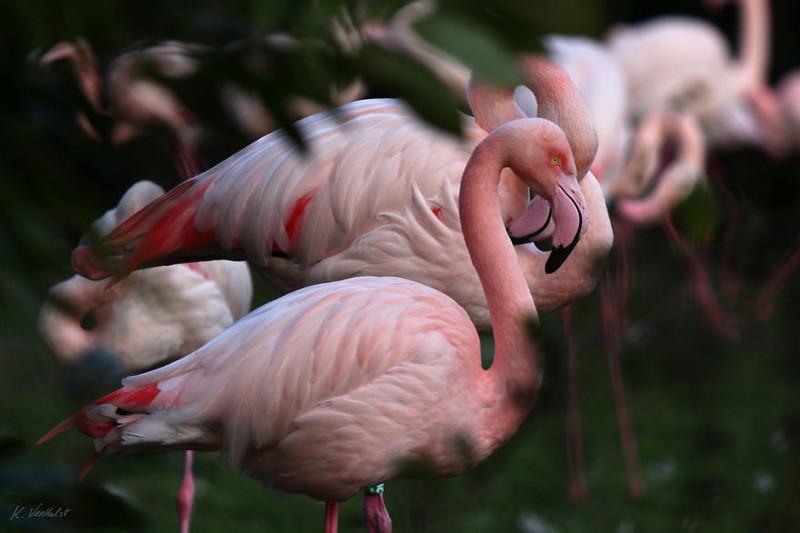 prekrasnye-flamingo