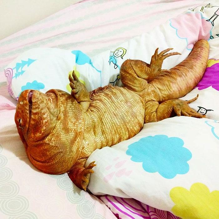 Я симпатичная! Улыбчивая ящерица размером с мейн-куна любит всех подряд :)