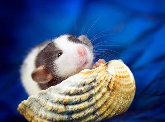 Милота с хвостиком!) Эти крыски доказывают, что грызуны — самые милые питомцы